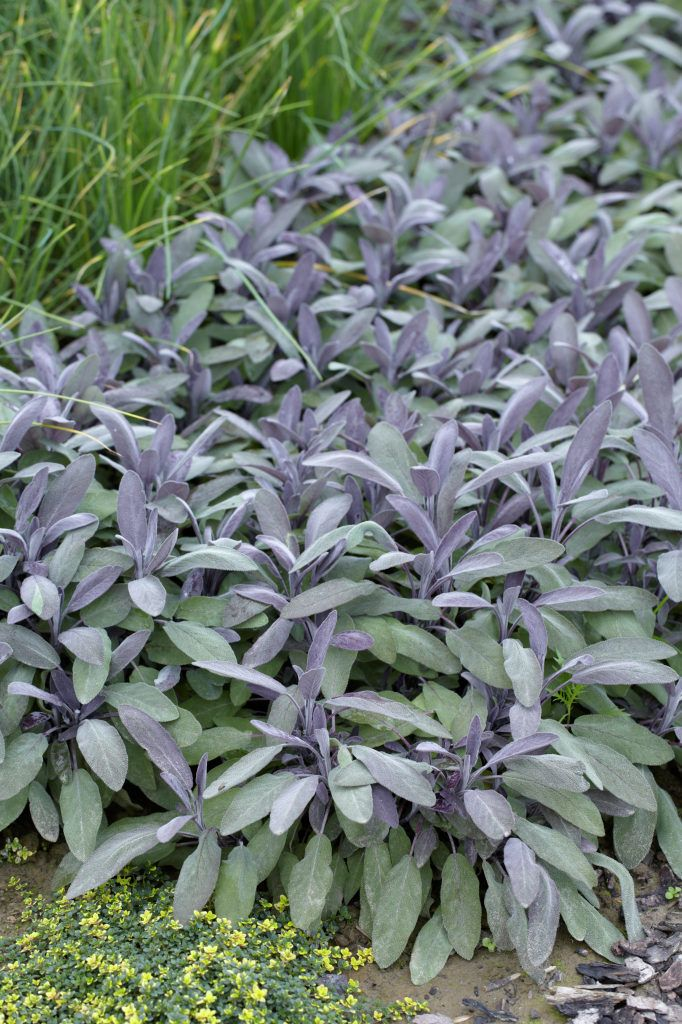 1000 ideas about salvia officinalis on pinterest stepping stone walkways sage act and thyme. Black Bedroom Furniture Sets. Home Design Ideas