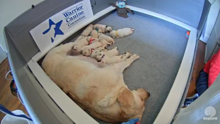 LIVE feed of puppies. These aren't just any ordinary puppies—these Labrador Retriever pups will grow up and be hard at work at Walter Reed National Military Medical Center, the National Intrepid Center of Excellence, and other facilities to help recovering service members heal. In turn, the injured veterans get the awesome task of petting the puppies to help socialize them.