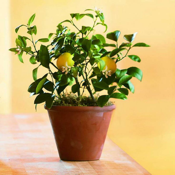 9 экзотических фруктов в горшке