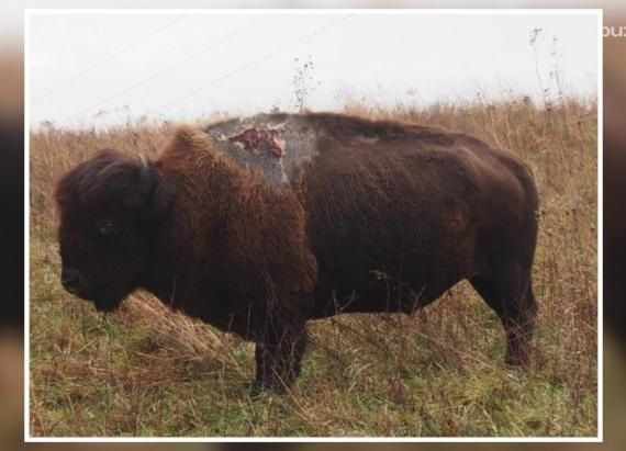 Badass bison survives being struck by lightning and has the scar to prove it Followme #CooliPhone6Case on Twitter Facebook Google Instagram LinkedIn Blogger Youtube