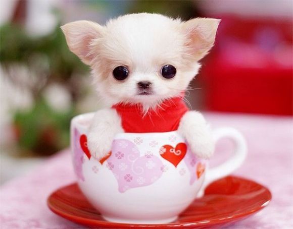 A tiny pup in a tiny cup