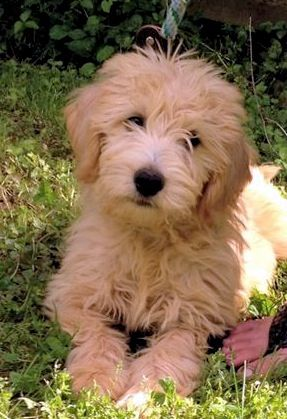 The face we fell in love with! Double doodle.