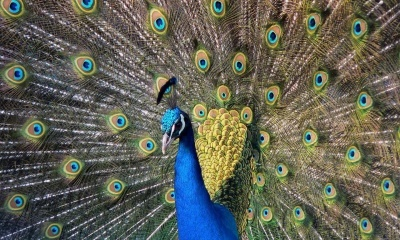 King Birds Peacock (click to view)