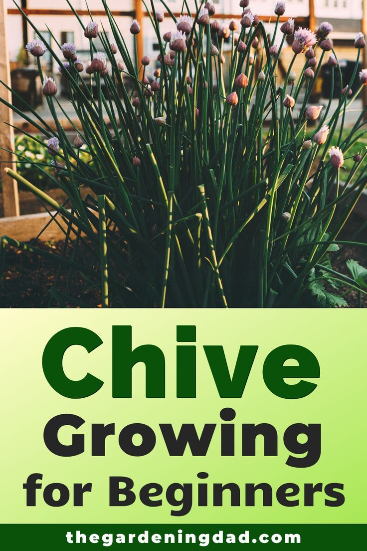 10 Proven Tips How To Grow Chives The Gardening Dad Growing Chives Growing Herbs At Home Harvesting Herbs