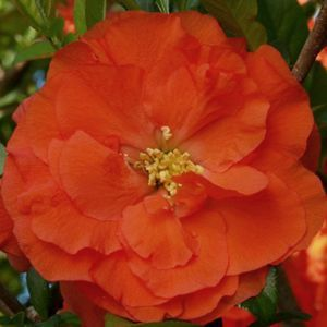 Buy Chaenomeles Double Take Orange Storm Shrubs Online. Garden Crossings Online Garden Center offers a large selection of Quince Flowering Plants. Shop our Online Shrub catalog today!