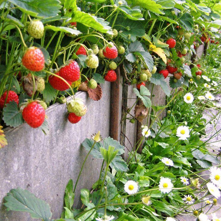 Die 11 Besten Pflanzen Furs Hochbeet Erdbeeren Wachsen Wunderbar Im Hochbeet The Post Die 11 Besten Pflanzen Furs Hochbeet Appe Hochbeet Pflanzen Hochbeet Bepflanzen Und Pflanzen