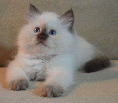 Rags2love Cattery Featuring Fluffy Loveable And Stunning Ragdoll