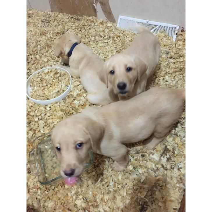 Purebred yellow lab puppies for sale