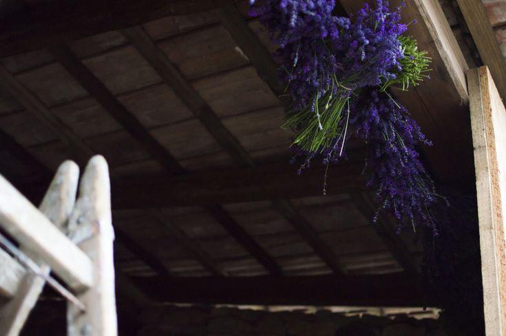 Levendula virágzás és szüret 2015