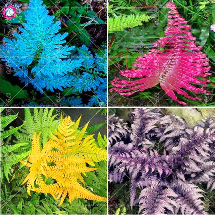 100Pcs Fern Seeds Bracken seed Colorful Pteridophyta Rare Vegetable seeds Standing or winding climber perennial herb Bonsai. Yesterday's price: US $0.38 (0.31 EUR). Today's price: US $0.85 (0.69 EUR). Discount: 0%.