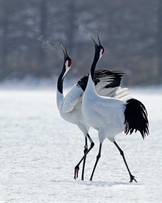 1000 Images About Tancho The Rare Red Crowned Crane
