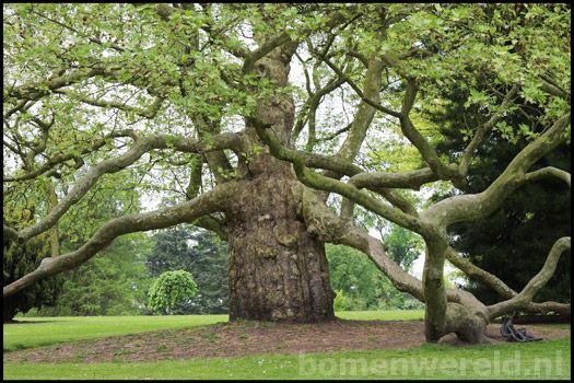 Op bomenwereld.nl zijn prachtige foto's van oude bomen te vinden.