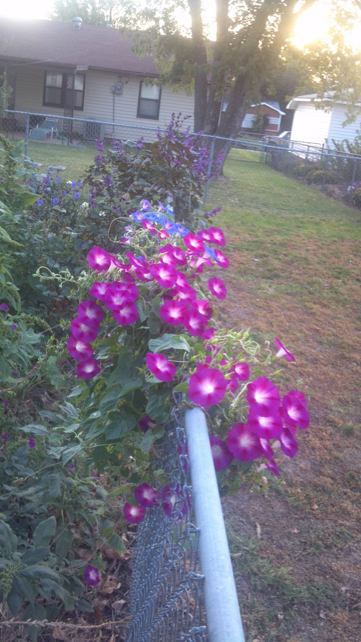 52 best ~morning glory~ images on pinterest | morning glories