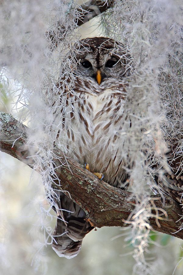 Barred owl  By:Robert Strickland