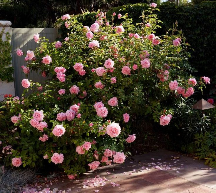 Belinda's Dream Rose, this is a Texas Superstar meaning it provides beauty with minimal care