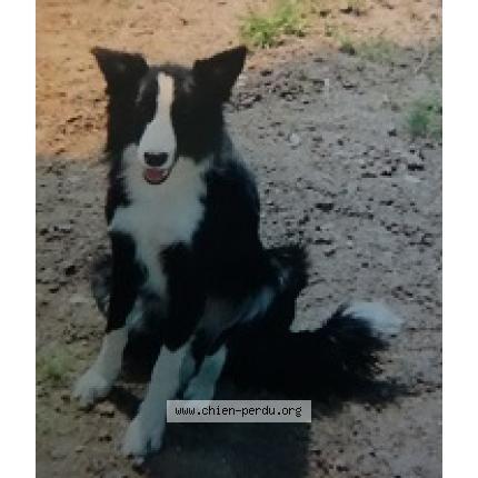Perdu chien, noir, blanc, femelle, moyenne taille, poils courts, pelage tacheté, oreilles moitié/moitié, race Border Collie. Perdu le 19/05/2016 86450 CHENEVELLES (FR).