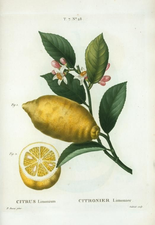 Citrus limonium = Citronier limonier. [An enlarged version of lemon with leaves and a half-cul lemon] ([1801-1819]) via NYPL