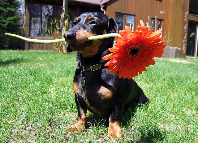 A Flower for my Mum by Crusoe the Celebrity Dachshund, via Flickr