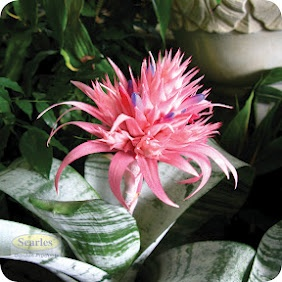 Hard to believe that this HUGE flower requires little water and care......stunning  #http://www.searles.com.au #pink #flower #shade #low maintenance #australia