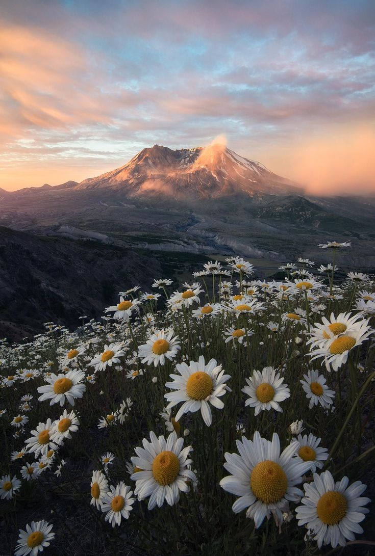 Mt St Helens, elevando-se acima das flores silvestres durante um belo nascer do sol (1400×2000) …   – Wohnzimmerideen