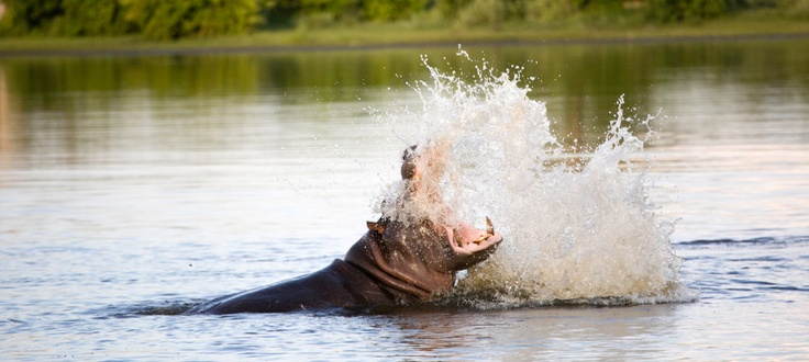 Hippo in the Delta  Ngwesi Houseboat on the Delta #okavangodelta #safari #houseboat #africa #botswana #travel #wildlife #gameviewing #destination #tigerfishing #hippo