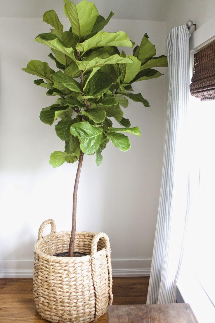 best 25 fiddle leaf fig ideas on pinterest fiddle leaf fig tree fiddle fig and fiddle leaf