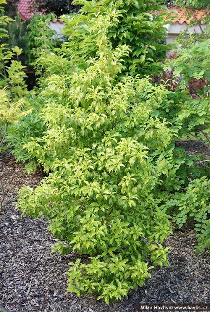 Zimozielony ogród: Ostrokrzew japoński - Ilex pedunculosa