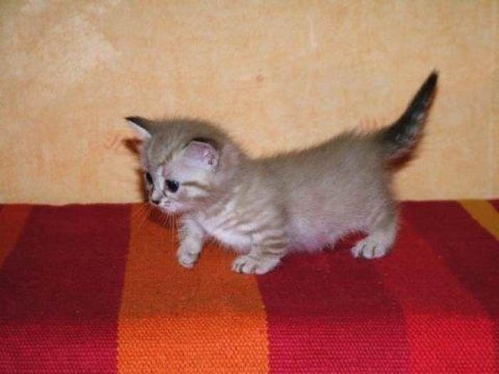 MUNCHKIN KITTEN ♥♥ ADORABLE ………. keine anderen Worte, um es zu beschreiben …   – Adorable Kittens