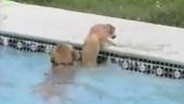 awwwwww: Amazing, Mothers Love, Saves Puppy, Dog Saves, Pool, Watch, Lover Dogs, Mother Dog