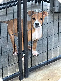 Springfield, VA - Boxer Mix. Meet Piper, a puppy for adoption. http://www.adoptapet.com/pet/17629670-springfield-virginia-boxer-mix