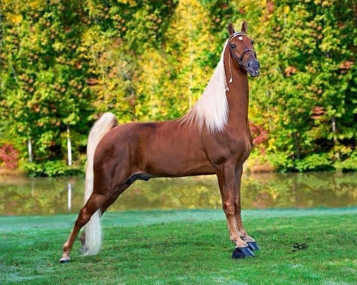 2012 World Grand Champion- Tennessee Walking Horse -Walk Time Charlie:) I'm in love!!