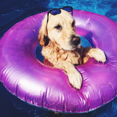 Just a golden chillin in a pool