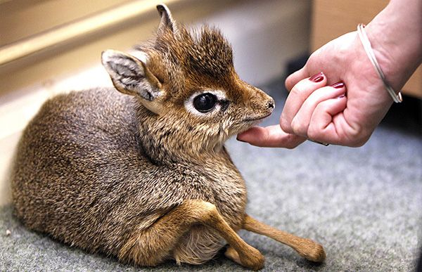BABY - Dik-diks are little tiny African antelopes. Fully grown, they stand approximately 12-16 inches at the shoulder. They enjoy whistling.