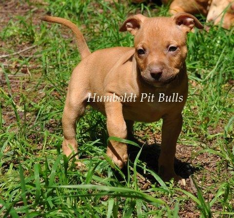 red nose pitbull terrier 1000 images about my puppy ideas on pinterest a lion 1557
