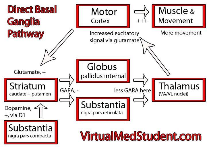 Website that explains basal ganglia really well. - Functional Neurology - Functional Neurologist