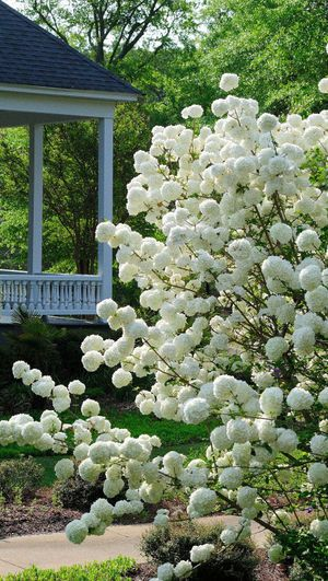 The Chinese snowball viburnum produces scores of glistening white pom-pom-like flowers suitable for cutting and arranging in a vase.