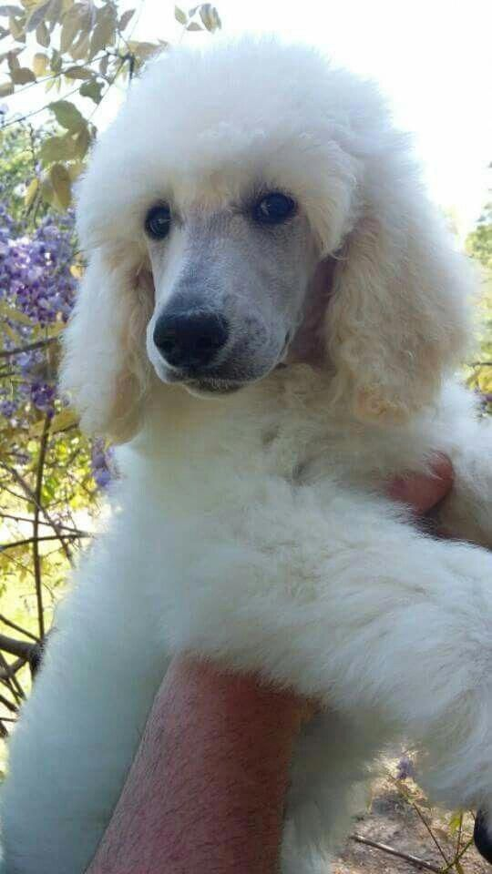 An Adorable White Standard Poodle Puppy Poodlepuppy Poodles