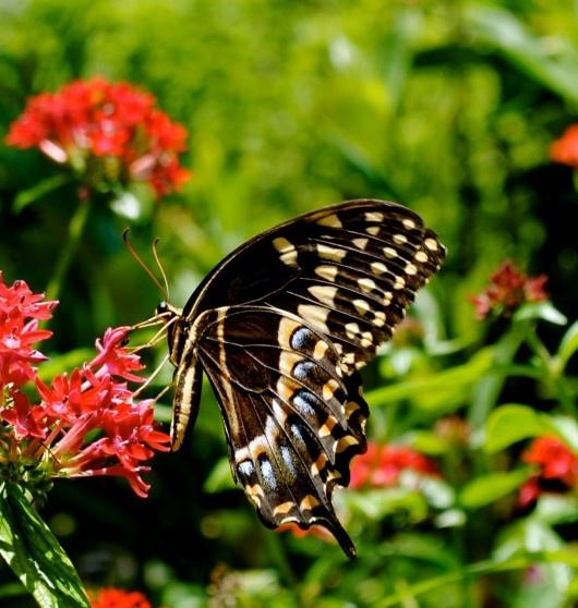 95 Best Images About Butterflies On Pinterest Gardens