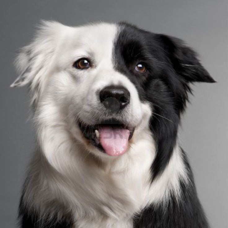9750076-close-up-of-border-collie-8-and-a-half-years-old-in-front-of-grey-background.jpg 1,200×1,200 pixels