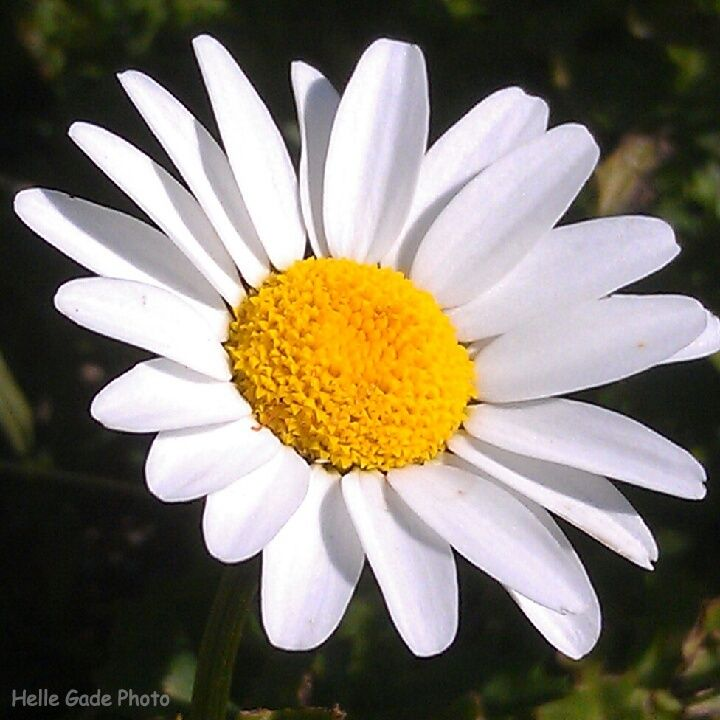 Daisy #flower #photography  www.facebook.com/hellegadephotography