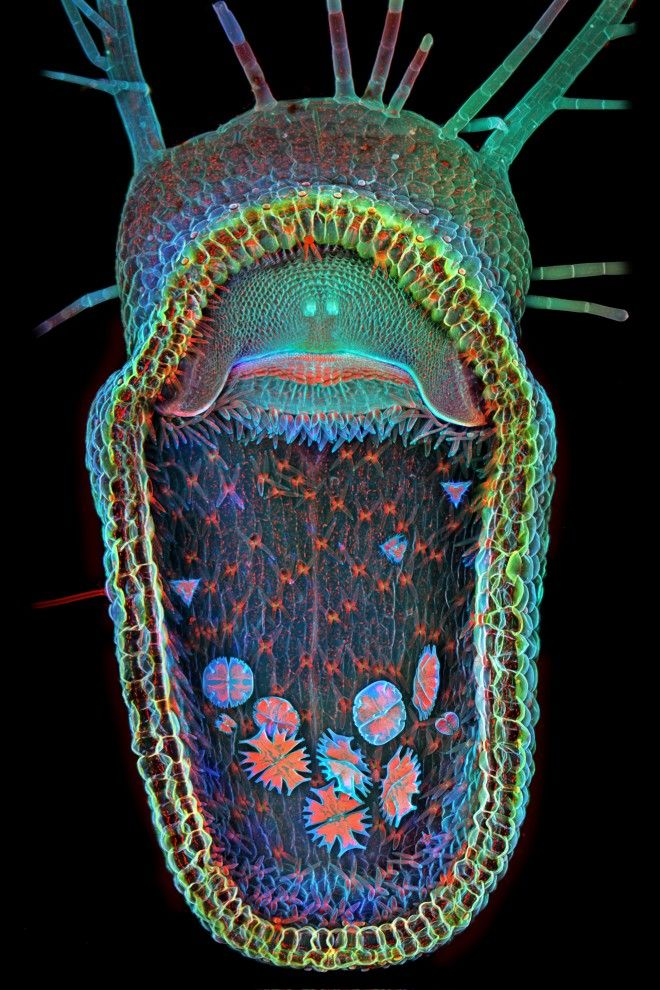 Taken by Igor Siwanowicz, the photo shows the open trap of an aquatic carnivorous plant known as a humped bladderwort (Utricularia gibba).