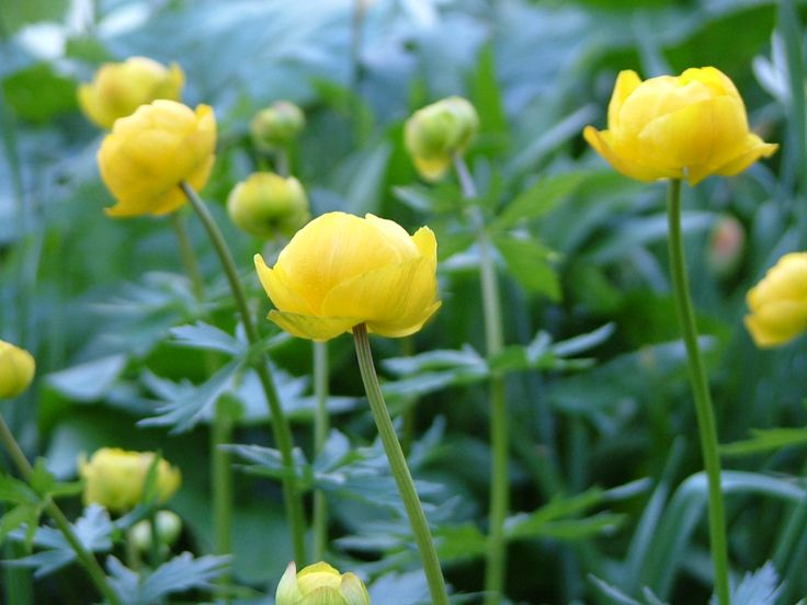28 best images about Kullero - Globeflower on Pinterest | Spring, Multimedia and Flower