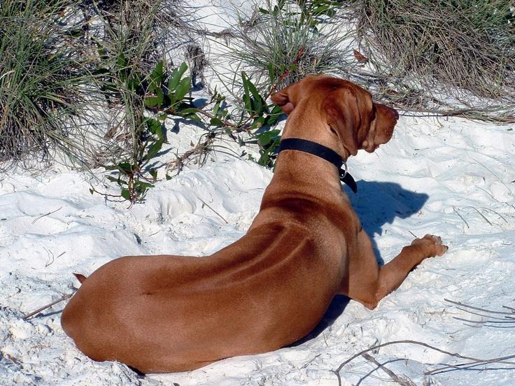 I personally think Rhodesian Ridge Backs are spectacular dogs