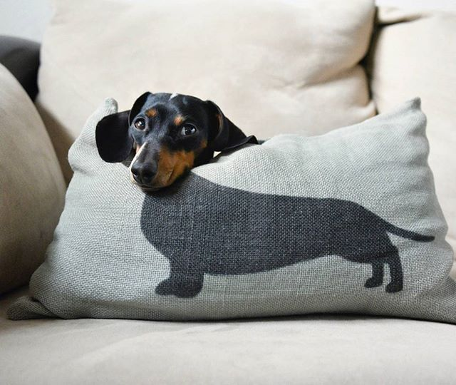 "WEBSTA @ countrylivingmag - ""Indiana and Reese are both Miniature Dachshunds…"