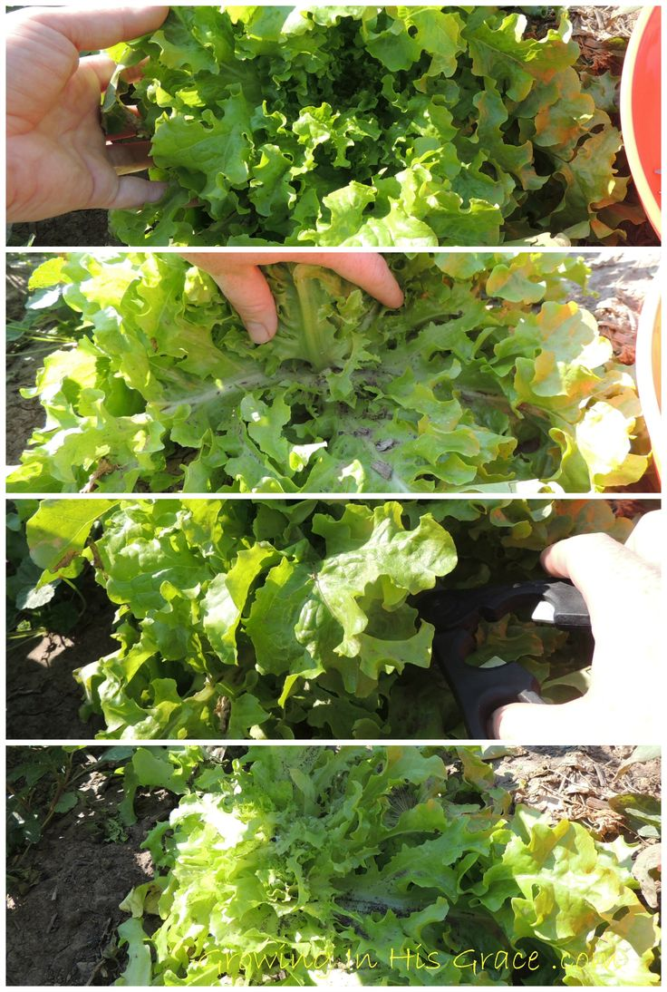 How to harvest your lettuce so it will keep producing. So you don't have to plant a new batch every couple of weeks.