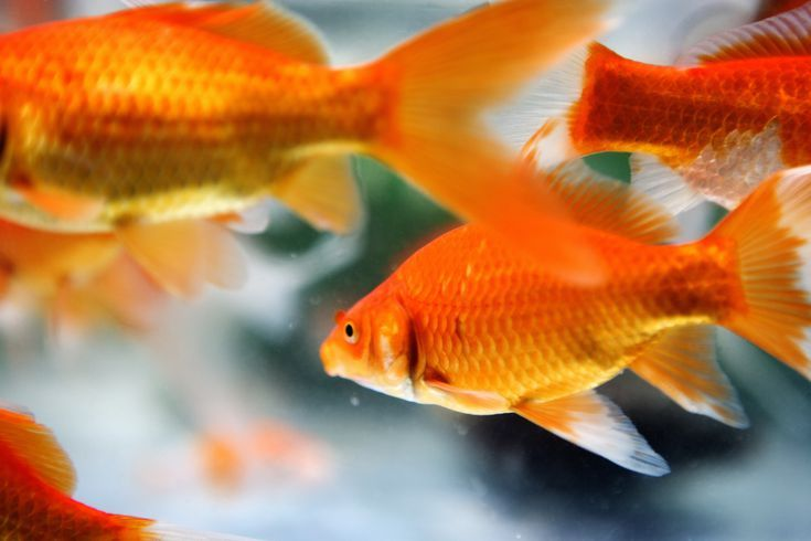 14 Lucky Charms To Attract Good Luck In Your Life Feng Shui Fish Feng Shui Koi Fish Feng Shui