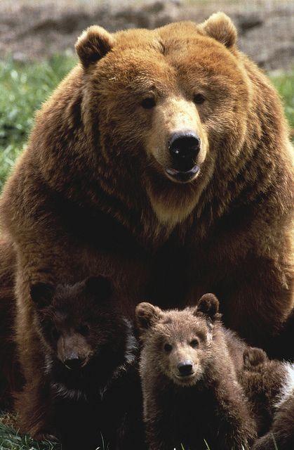 El oso pardo (Ursus arctos) El dimorfismo sexual es algo notorio en los osos pardos; un ejemplo son los osos kodiak: los machos de esta subespecie normalmente alcanzan un peso de 450 kg mientras que las hembras suelen pesar unos 250 kg, siendo considerablemente más pequeñas. Pasa lo mismo con el grizzly: los machos generalmente pesan algo menos de 400 kg y las hembras alrededor de 200 kg. Esto sucede también con todas las demás subespecies.
