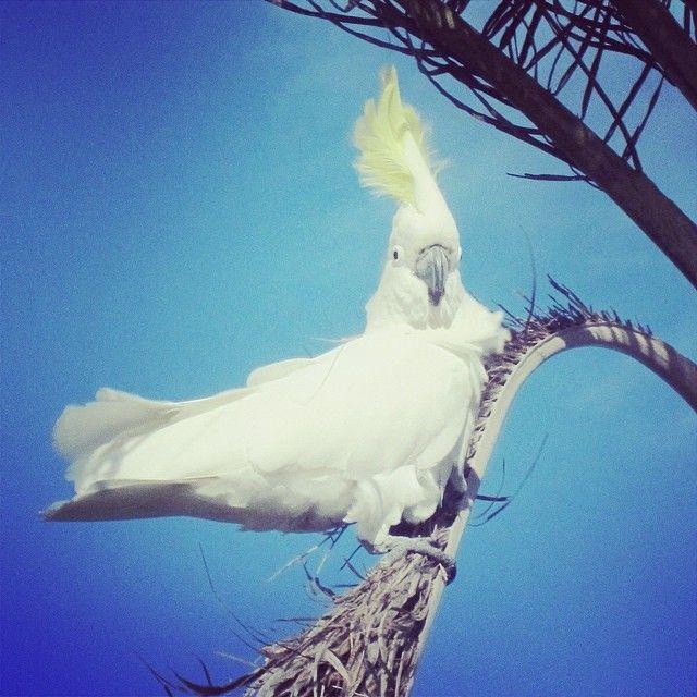 Meet this cherished Australian icon. We love the Whitsundays! #whitsundays #cockatoo #australia #awesomewhitsundays #cruisewhitsundays #lovethewhitsundays