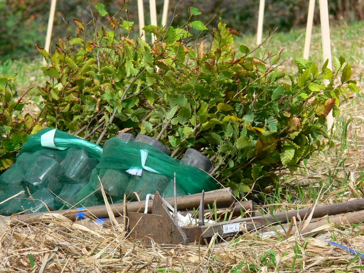 ≪Present Tree in 宮古≫ 第2回植樹イベント_20131013 ブナの苗木も準備万端です。