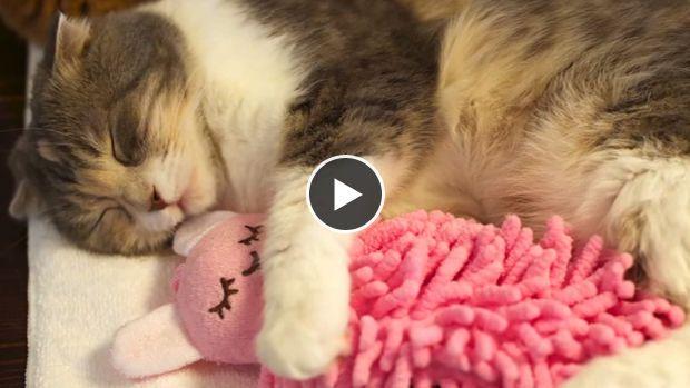 Ce petit chat semble avoir un rituel pour pouvoir s'endormir. On peut le voir enlacer la peluche rose entre ses pattes, ainsi que la serrer fort contre lui.